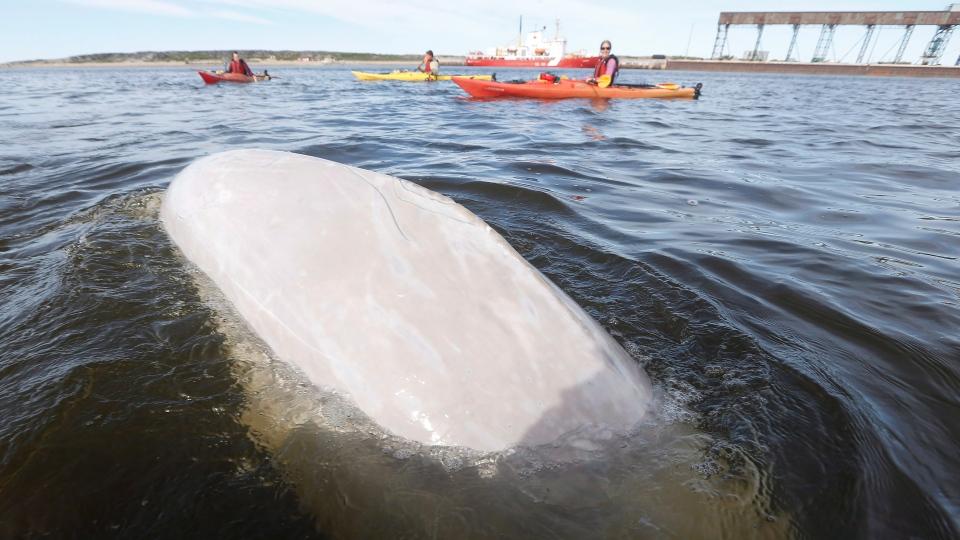Churchill River Beluga