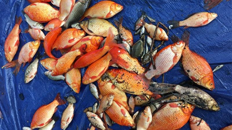 Lacome fish cull
