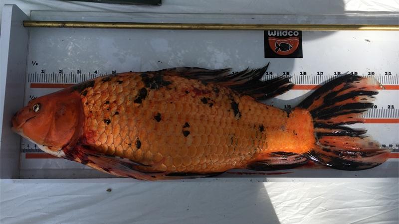 Lacombe Lake fish cull