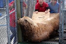 steller sea lion ukee