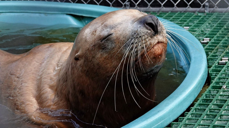 Sea lion recovering after shooting