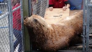 Vancouver Aquarium Marine Mammal Rescue Centre unloads Ukee, a male sea lion.