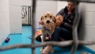 A golden retriever named 'Goldie' is seen at a BC SPCA shelter.