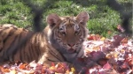 One of the three Amur tiger cubs at Moncton's Magnetic Hill Zoo that will be relocating with its siblings to a zoo in Ontario this fall.