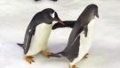 Penguin couple look after foster egg in Australia
