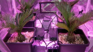 The inside of a grow tent is shown.