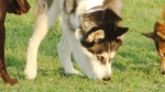 Police have released this photo of a dog wanted after a girl was attacked by a husky at a Mississauga dog park.  (Peel Regional Police handout)