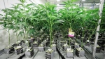 "Marijuana plants connected to automatic watering equipment in the ""flowering"" room during a tour of the Sundial Growers Inc. marijuana cultivation facility in Olds, Alta., Wednesday, Oct. 10, 2018. THE CANADIAN PRESS/Jeff McIntosh"