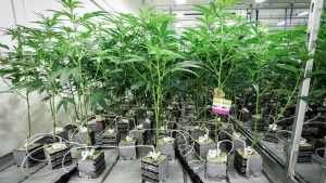 """Marijuana plants connected to automatic watering equipment in the """"flowering"""" room during a tour of the Sundial Growers Inc. marijuana cultivation facility in Olds, Alta., Wednesday, Oct. 10, 2018. THE CANADIAN PRESS/Jeff McIntosh"""