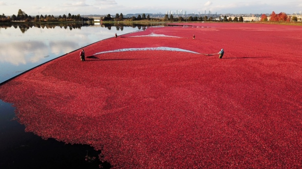 Photos from Kelly Williams and Andrew Chin show an October cranberry harvest in Richmond.
