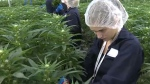 Marijuana graduates on the job