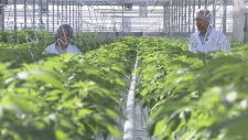 A close-up look at a local pot farm