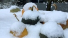 Fresh snowfall blankets a collection of pumpkins in Thornbury, Ont. (CTV News Barrie)