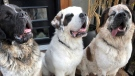 EHS said the three Saint Bernard brothers, Gunther, Goliath and Gasket, were adopted by a family in Calgary.