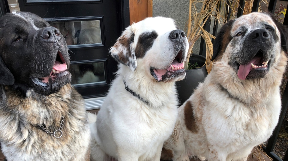 Goliath, Gasket, and Gunther are pictured at their new home in Calgary. (Source: Edmonton Humane Society)