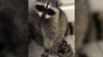 A raccoon had to be euthanized after getting caught in an animal trap in Richmond this week.