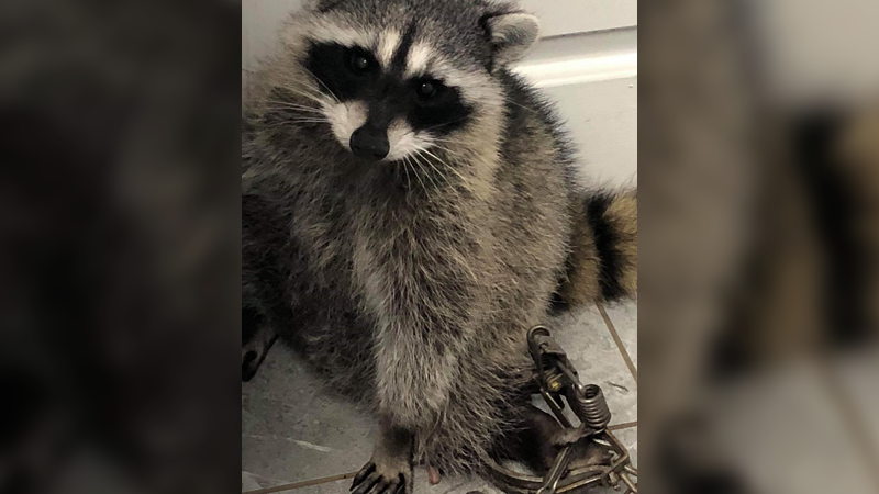 Raccoon caught up in animal trap in Richmond