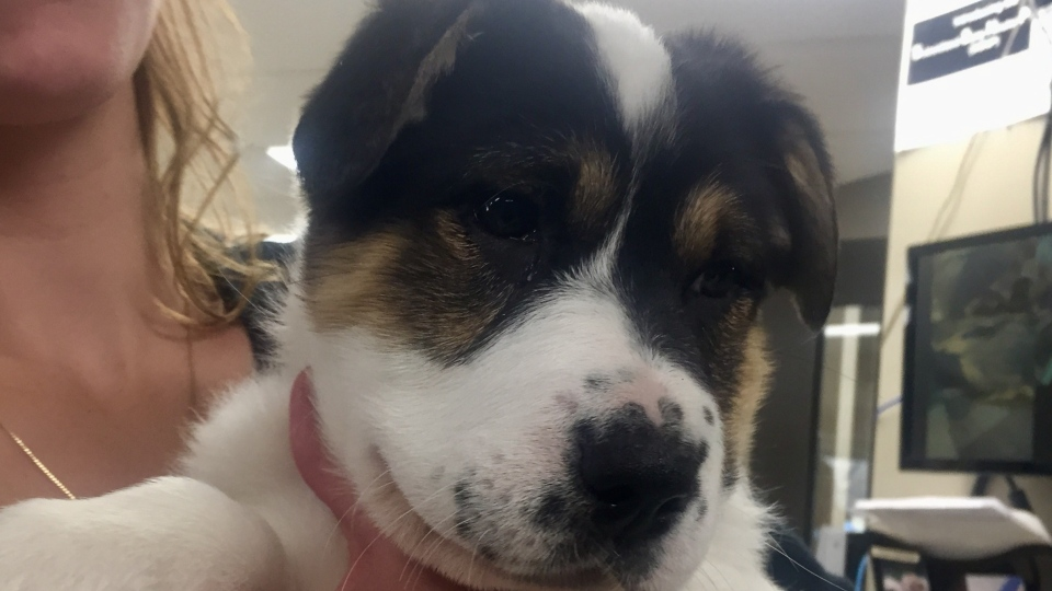 The Saskatchewan SPCA says new animal cruelty legislation makes several improvements. Pictured is Aurora, a puppy at the Saskatoon SPCA. (Laura Woodward/CTV Saskatoon)