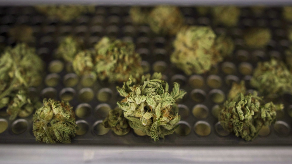 Cannabis buds lay along a drying rack at the CannTrust Niagara Greenhouse Facility in Fenwick, Ont., on Tuesday, June 26, 2018. The Ontario Cannabis Store says it has received about 100,000 online orders in the first 24 hours that marijuana was legal in Canada. THE CANADIAN PRESS/ Tijana Martin