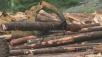 Port Alberni to get new sawmill, dozens of jobs