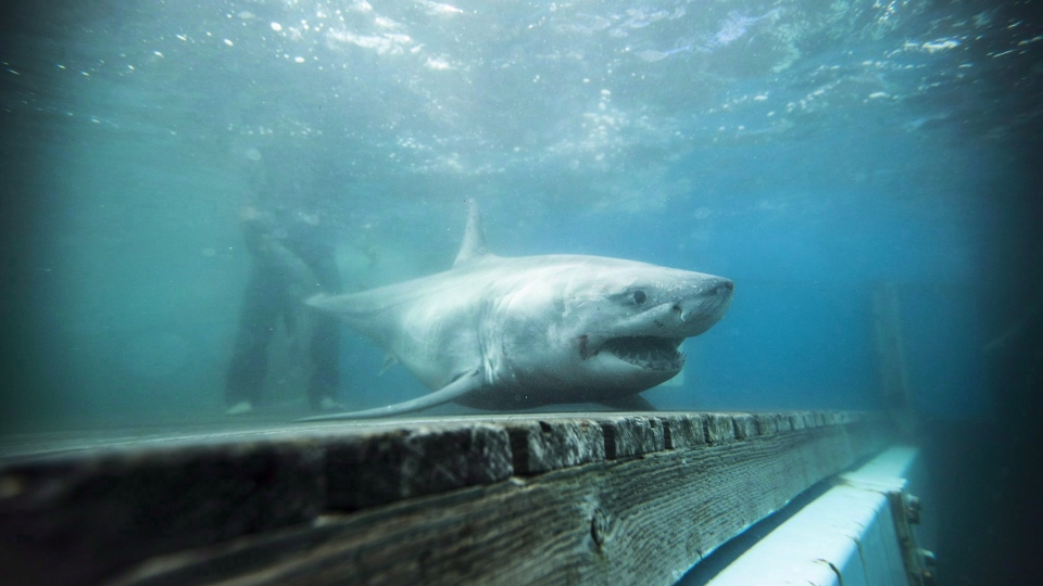 A white shark found in Canadian waters is shown off the coast of Nova Scotia in this file photo. (THE CANADIAN PRESS/HO - Ocearch, Robert Snow)