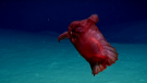 "A ""headless chicken monster,"" otherwise known as a deep-sea swimming cucumber, was filmed for the first time in the Southern Ocean off east Antarctica. (Storyful News/YouTube)"