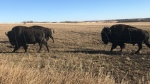 A northwestern Alberta farmer believes one of his bison herd was intentionally shot. Submitted.