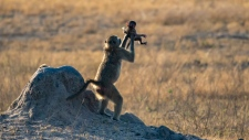 An adult baboon raises a baby in the air like the iconic scene from Disney's The Lion King, but it's not what it seems. (Picture courtesy of Dafna Ben Nun)