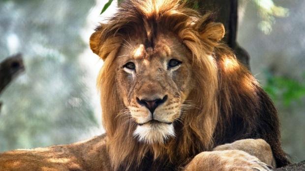 Nyack the lion