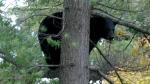 Bear spotted in Uxbridge