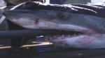 Sharks tagged in N.S. waters now tracked online