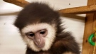 A gibbon stolen from the Elmvale Jungle Zoo has been recovered. (Twitter/OPP_CR)
