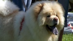 FILE - A chow chow dog is seen in this file photo. (Wikipedia/Remigiusz Jozefowicz)
