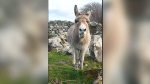 Harriet the singing donkey in Galway, Ireland