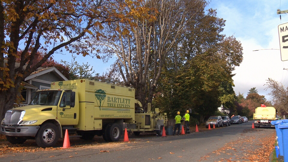 A large chestnut tree that was poisoned in spring was finally cut down and chipped Tuesday in Oak Bay. Oct. 23, 2018. (CTV Vancouver Island)