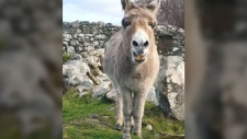 The Irish are famous for their musical ability – but now a singing donkey wants some credit too.