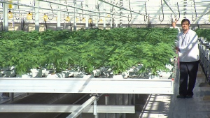 Pot industry put food farmland under pressure