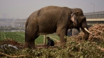 This file photo shows a domesticated elephant on the banks of the Yamuna River in New Delhi, India, Saturday, Dec.9, 2017. (AP Photo/R S Iyer)