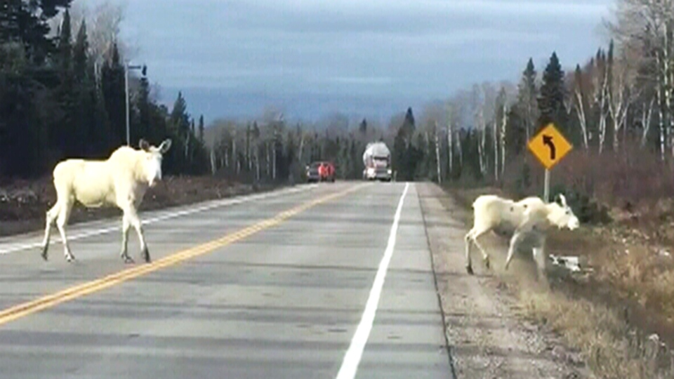 Two white moose are seen on Highway 101, near Foleyet, Ont., on Saturday, Oct. 27. (Nicole Leblanc)