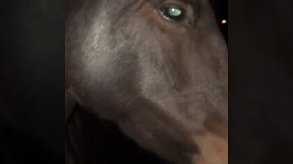 A Cowichan Valley farm owner shared video of her four-year-old horse visibly alarmed after fireworks were set off nearby over the weekend. Oct. 27, 2018. (Courtesy Shannon Boisvert)