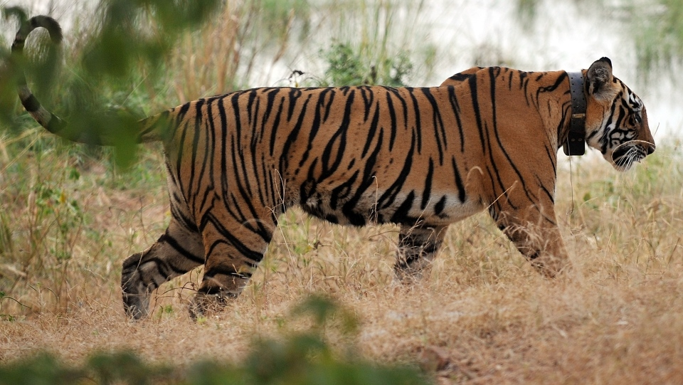 A tiger at the Ranthambore National Park in Ranthambore, India, on October 22, 2010. (AFP PHOTO/ MANAN VATSYAYANA)