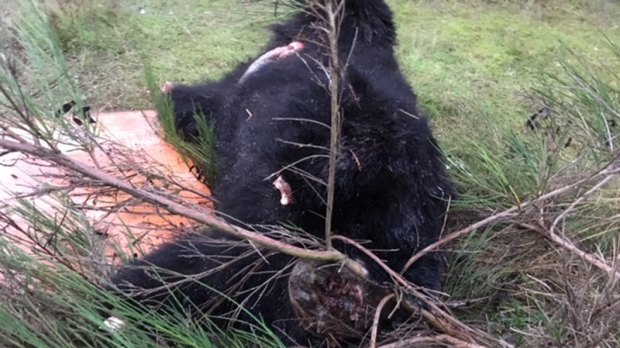 black bear carcass