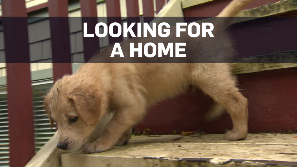Orphaned golden retriever puppies up for adoption | CTV News