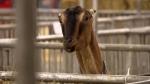 Royal Winter Fair goat