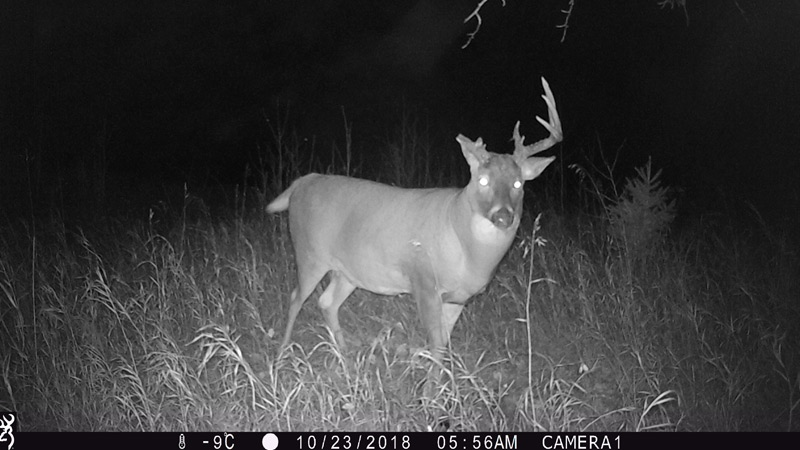 A still taken from a trail cam released to CTV News by Alberta Fish and Wildlife shows the surviving deer on Oct. 23, nearly two weeks after it was separated from another deer. Supplied.