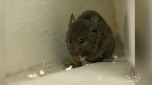 According to the Canadian Institute of Public Health Inspectors, an important step in protecting the health and safety of your household is keeping mice out. (File Image)
