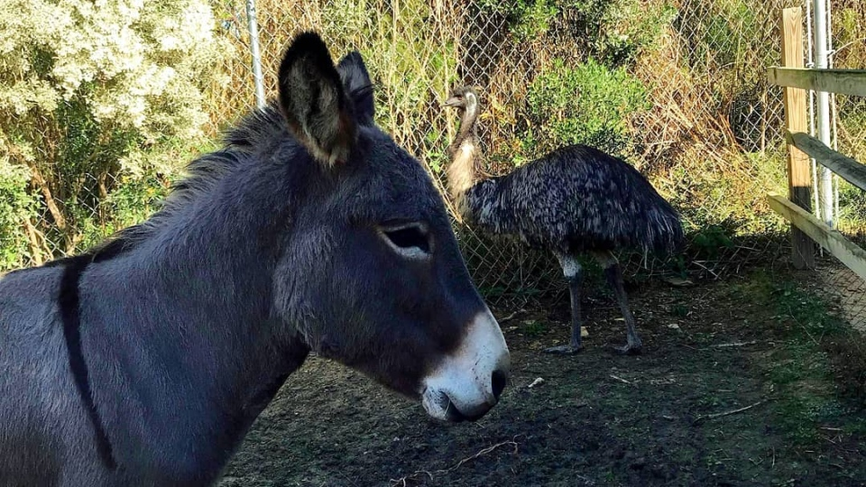"In this photo posted by the The Carolina Waterfowl Rescue, Jack the donkey is apparently ""guarding"" Diane the emu. (Facebook/cwrescue)"