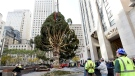 Workers raise the 2018 Rockefeller Center Christmas tree, a 72-foot tall, 12-ton Norway Spruce from Wallkill, N.Y., Saturday, Nov. 10, 2018, in New York. The 86th Rockefeller Center Christmas Tree Lighting ceremoN.Y. will take place on Wednesday, Nov. 28. (Diane Bondareff/AP Images for Tishman Speyer)