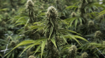 A flowering cannabis plant is seen at Blissco Cannabis Corp. in Langley, B.C., on October 9, 2018. (The Canadian Press / Jonathan Hayward)