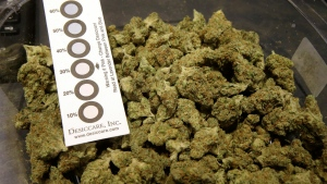 """In this Wednesday, Oct. 17, 2018 photo a humidity indicator rests in a bowl of a strain of cannabis called """"Walker Kush"""" at New England Treatment Access medical cannabis dispensary, in Northampton, Mass. (AP Photo/Steven Senne)"""